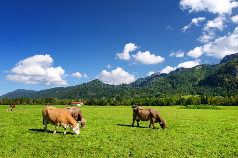 Cows grazing in idyllic green meadow. Scenic view of Bavarian Alps with majestic mountains in the background. royalty free stock image