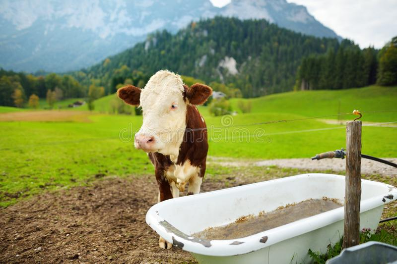 Cows grazing in idyllic green meadow. Scenic view of Bavarian Alps with majestic mountains in the background. stock photo