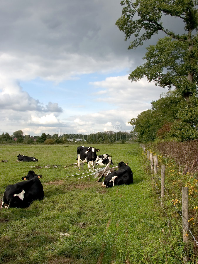Cows grazing, incoming storm. stock image