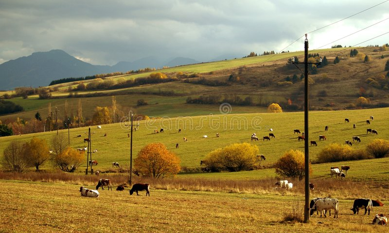 Cows grazing in the meadow. Cows grazing in a meadow royalty free stock image