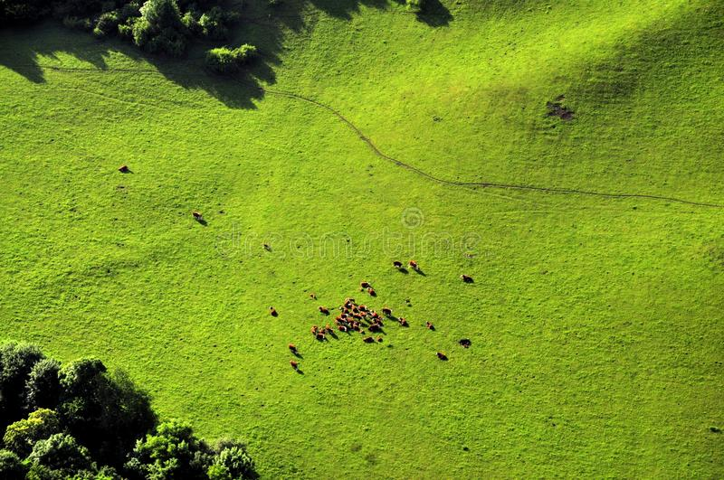 Cows grazing on a meadow stock photos