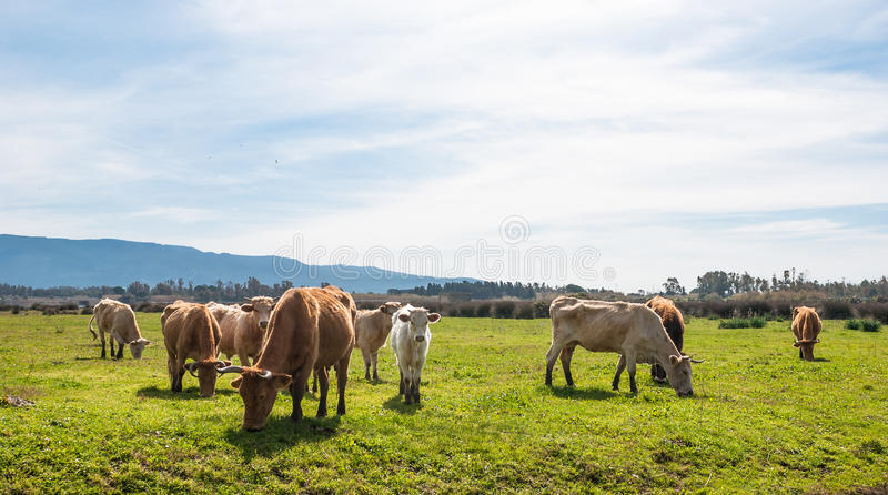 Download Grazing cows stock image. Image of farming, grass, meadow - 30016467