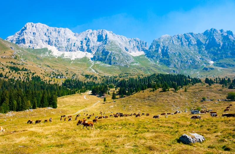 Cows grazing in Montasio Plateau. Cows grazing in the pastures of Montasio Plateau in Julian Alps during the summer, Sella Nevea, Friuli, Italy stock photography