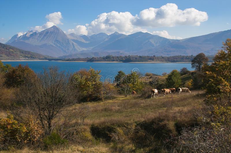 Cows grazing near Campotosto lake in Abruzzo, Italy. Europe stock images