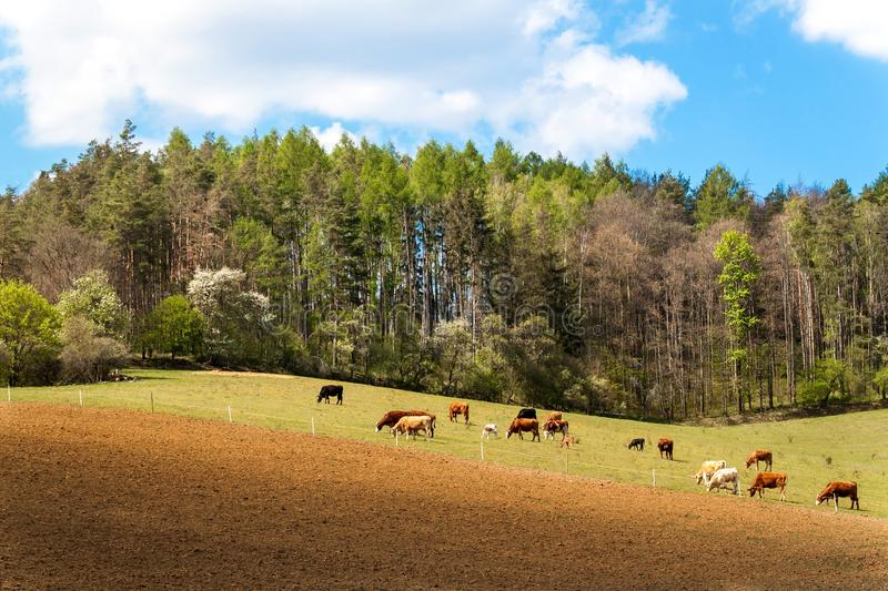 Cows grazing near the forest in the Czech Republic. Farm life. Milk production. Spring day on pasture royalty free stock photography