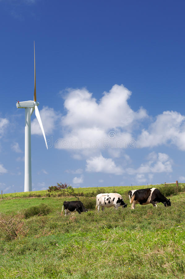 Cows grazing next to a wind turbine stock images