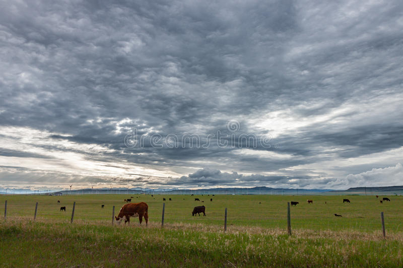 Cows Grazing in a Pasture Under Threatening Skies stock photo