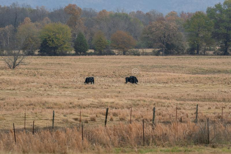 Cows grazing in a ranch pasture stock photos