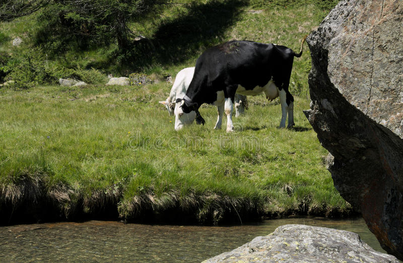 Cows grazing on the shore of a river stock images