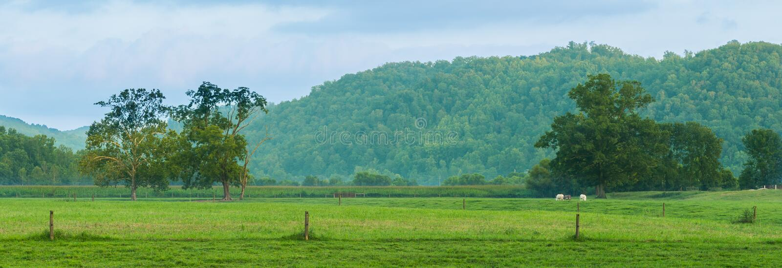 Grazing Cows Powell County, KY stock images