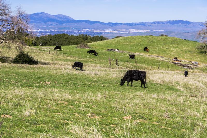 Cows grazing on a verdant pasture, Mt Diablo and Livermore in the background, east San Francisco bay, California royalty free stock photography