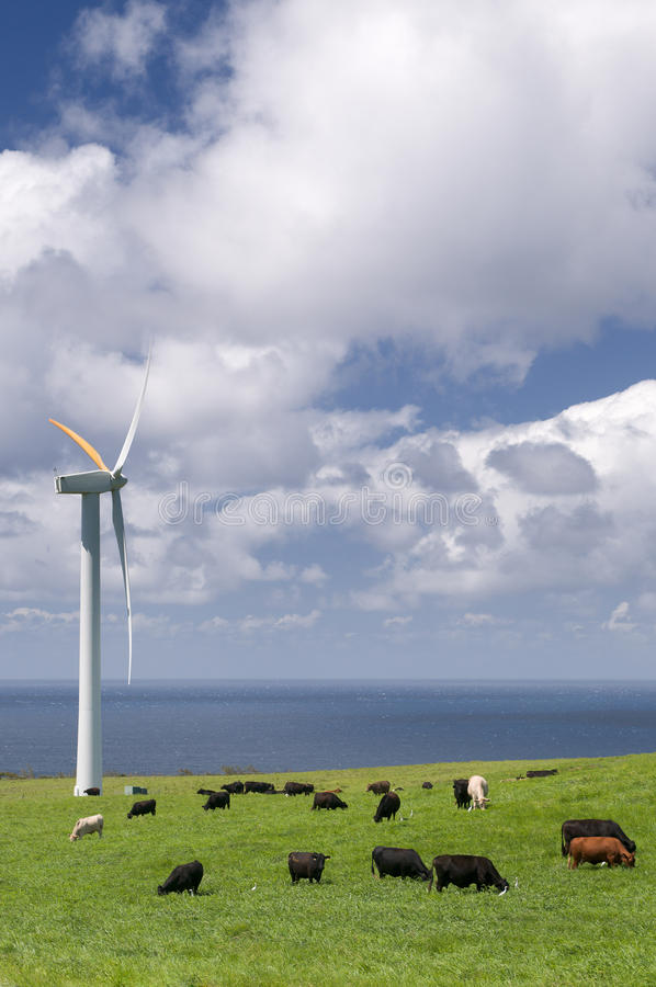 Download Cows Grazing Among Wind Turbines Stock Photo - Image: 11654848