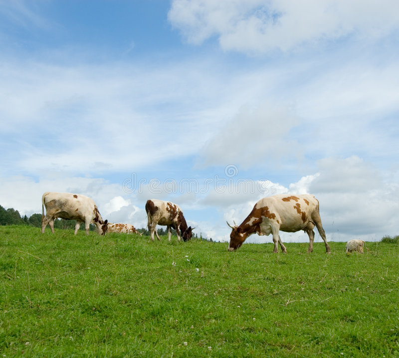 Cows in green field royalty free stock image