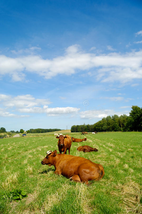 Download Cows on green grass stock image. Image of cows, cattle - 15943557