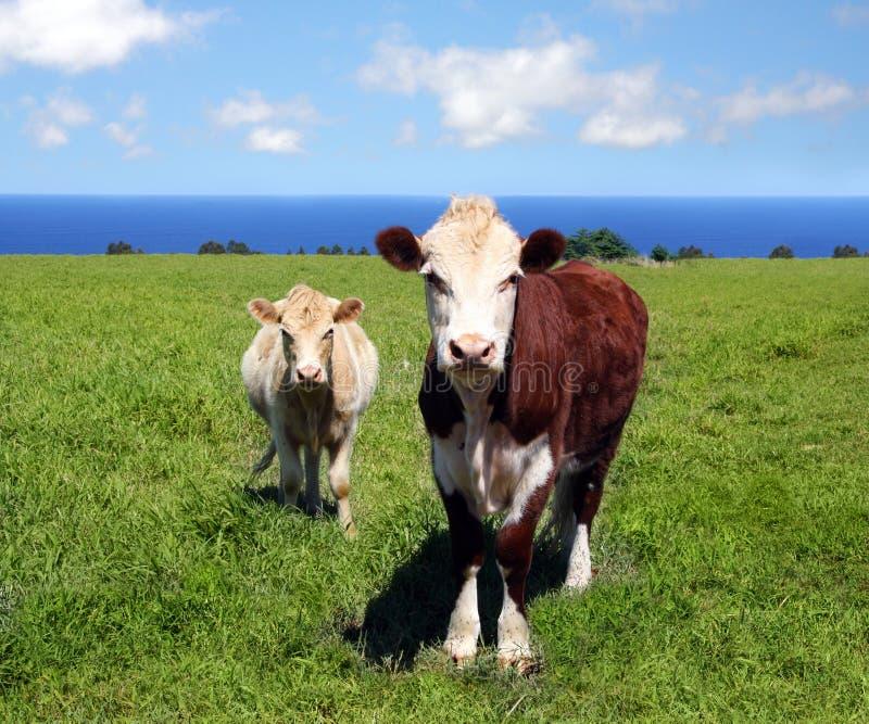 Cows on green grass stock photos