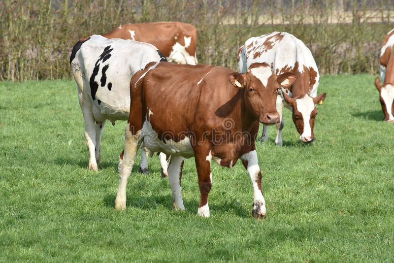 Cows on a green grass field royalty free stock photography