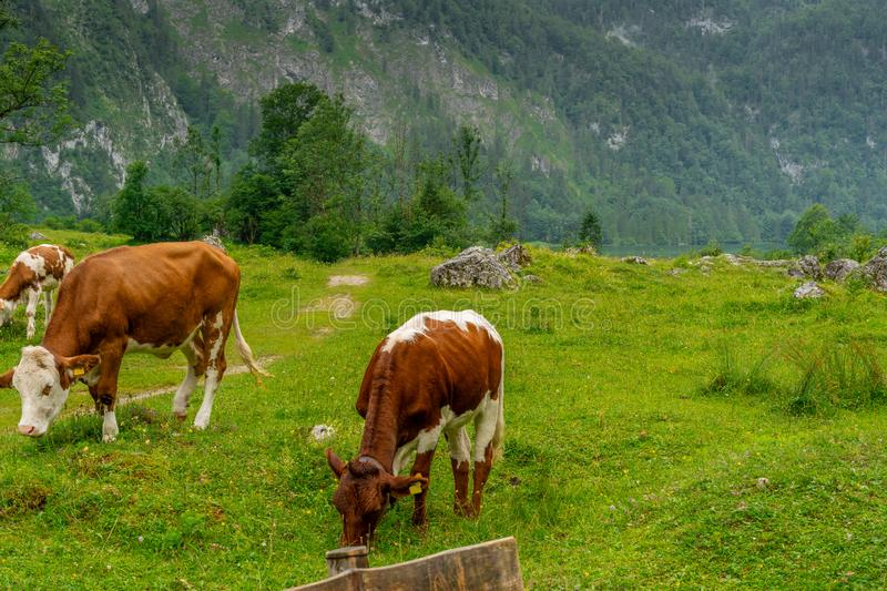 Cows on a green mountain meadow high, with high mountains royalty free stock photos