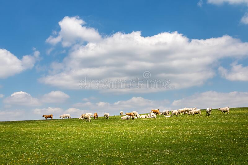 Cows on green pasture under blue sky with clouds stock images