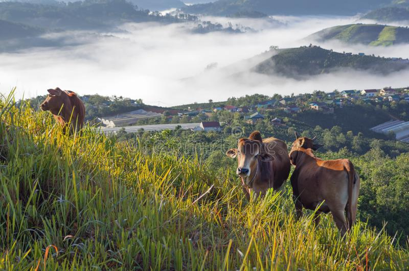 Cows in green plateau with beautiful houses rural and magic fog at the sunrise royalty free stock photography