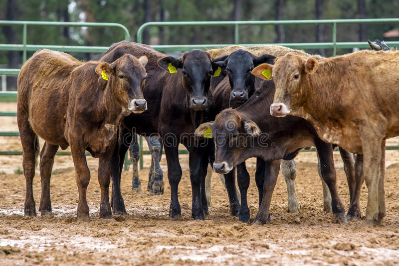 Cows group stock photography