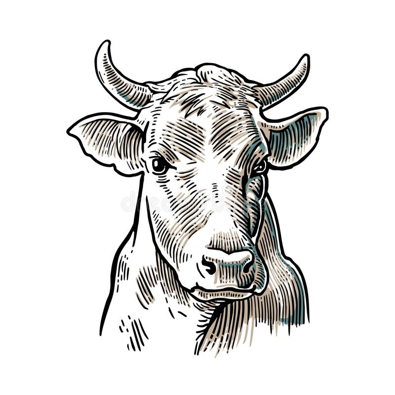 Cows head. Hand drawn in a graphic style. Vintage vector engraving illustration for info graphic, poster, web. royalty free illustration