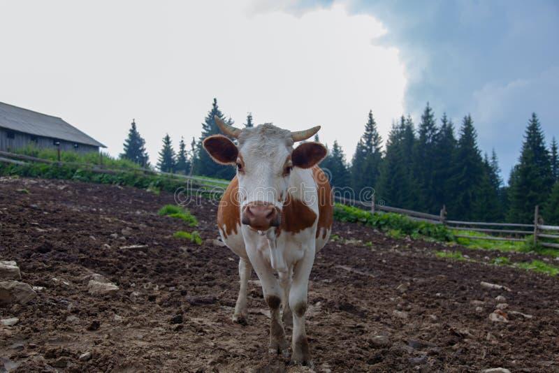 Cows on a high mountain farm in summer stock photos