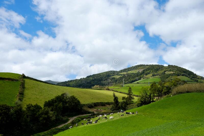 Cows on a hill in Azores. Beautiful green hills in Sao Miguel Island in Azores archipelago in Portugal. The Green Island nature. Cloudy and green landscape in royalty free stock image