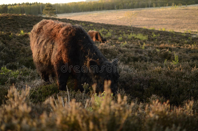 Cows on hill royalty free stock photo