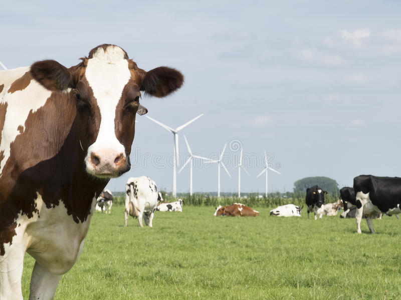 Cows and mills in Holland stock images