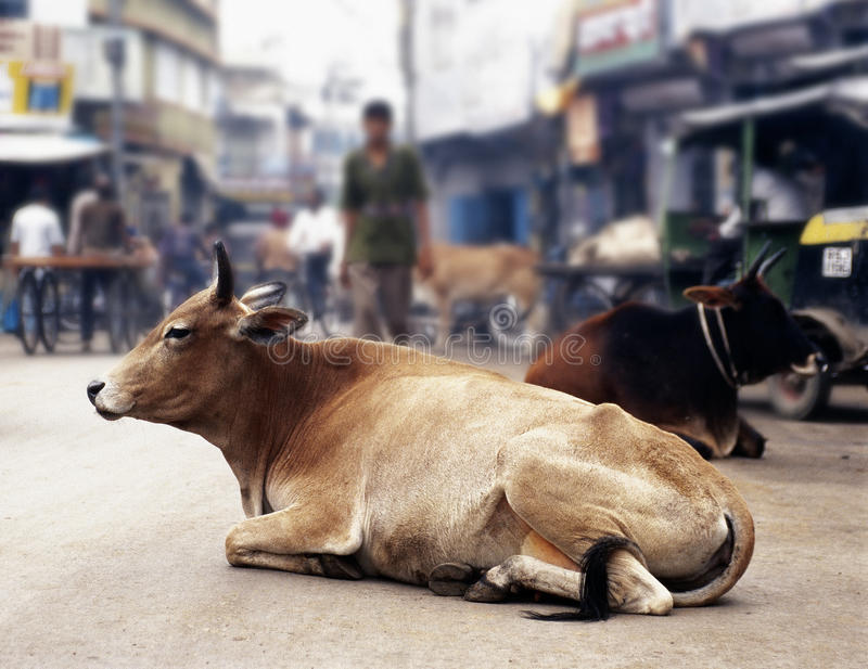 Cows in India royalty free stock image