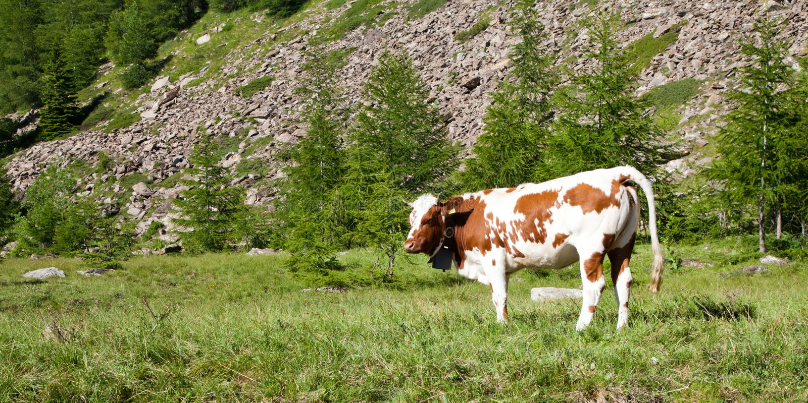 Download Cows and Italian Alps stock image. Image of alps, looking - 20608719