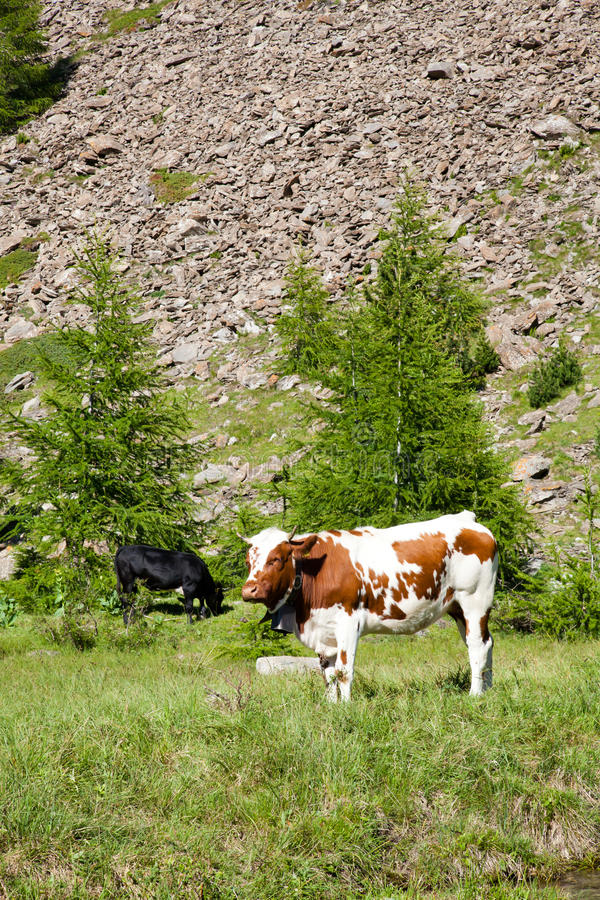 Download Cows and Italian Alps stock image. Image of alpine, farming - 21284419