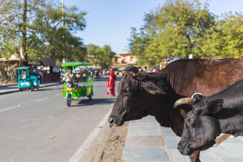 Cows in Jaipur, India. Cows at the Side of the Road in Jaipur, India during the day. Traffic can be seen going past royalty free stock image