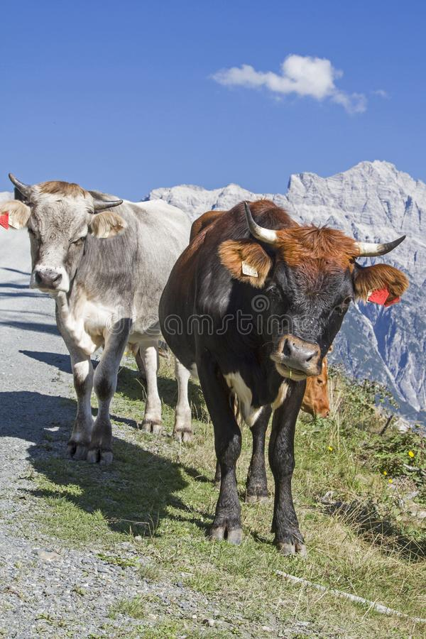 Cows in the Leonganger stone mountains. Cows spend the Summer in the hills on the high mountain meadows in Pinzgau royalty free stock photos