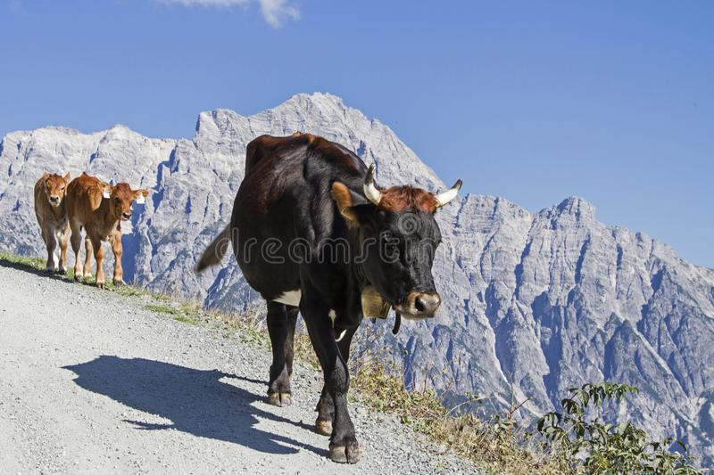 Cows in the Leonganger stone mountains. Cows spend the Summer in the hills on the high mountain meadows in Pinzgau stock photos