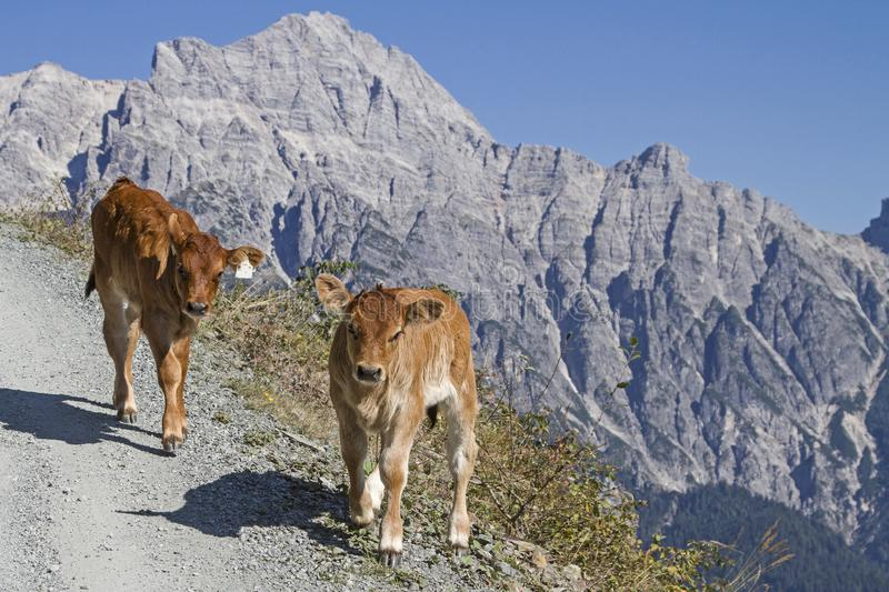 Cows in the Leonganger stone mountains. Cows spend the Summer in the hills on the high mountain meadows in Pinzgau stock photo