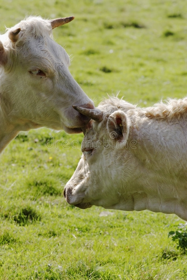 Download Cows licking each other stock photo. Image of cultivate - 7506932