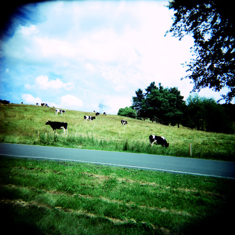 Cows (lomo) royalty free stock photo
