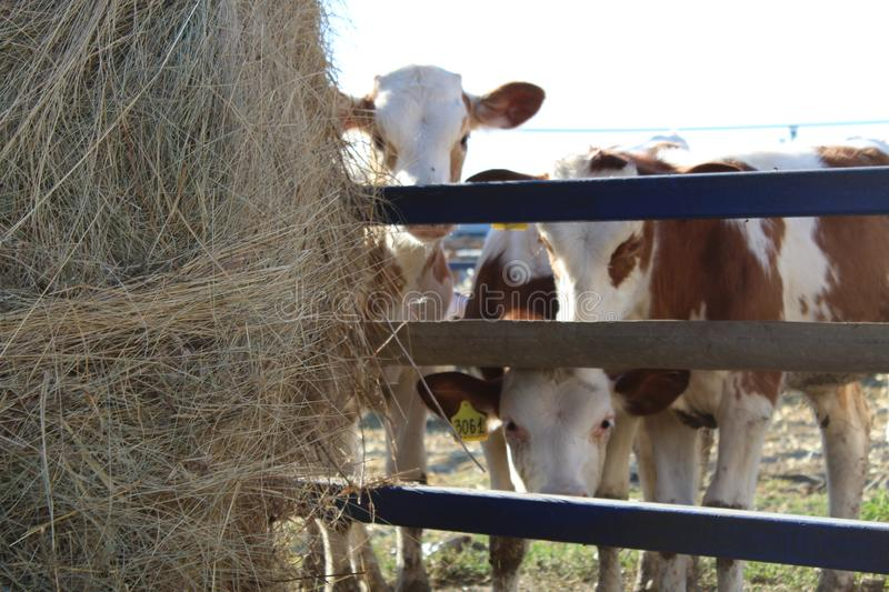 Cows look out from behind the fence and look at the big haystack.  stock photo