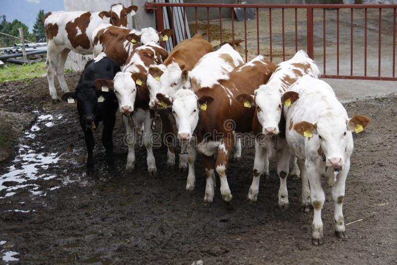 Cows. Looking at the photographer, Alps, Austria stock photos