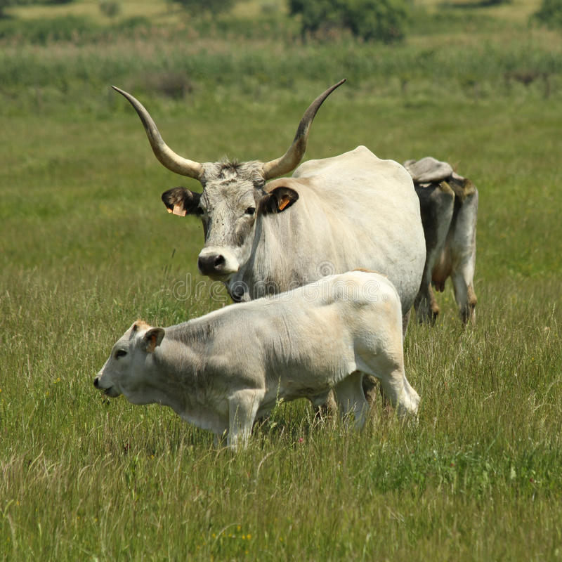 Cows in Maremma region. Chianina is an Italian breed of beef cattle. It is especially characteristic for Maremma region in Tuscany. The famous bistecca alla stock images