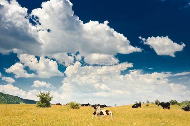 Cows at meadow stock image