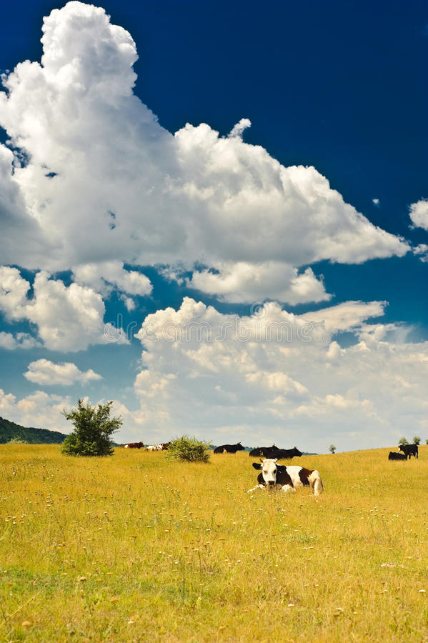 Download Cows at meadow stock image. Image of countryside, farmland - 10184427
