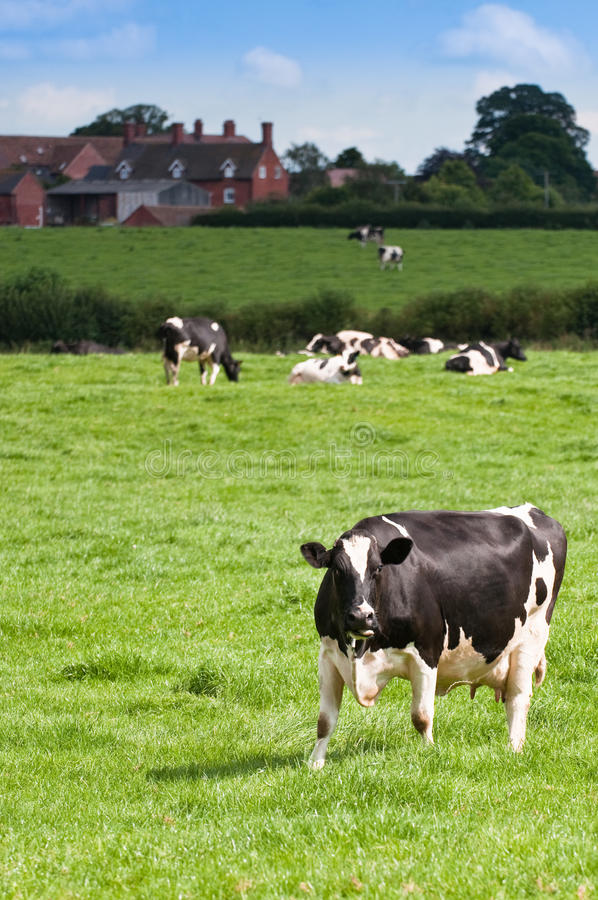 Cows In Meadow Royalty Free Stock Photo