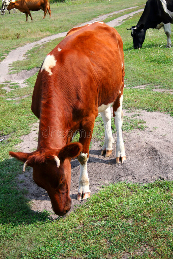 Download Cows on the meadow stock image. Image of food, green, mammal - 1594445