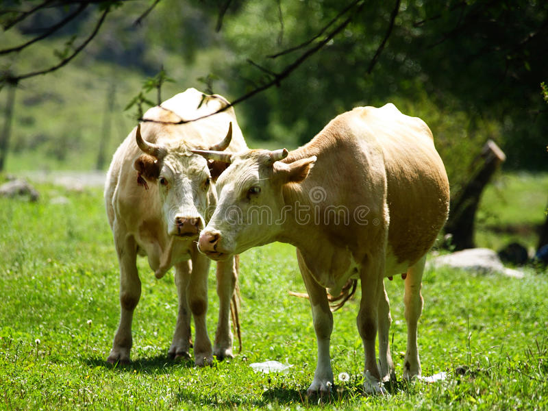 Download Cows in a meadow stock image. Image of field, animals - 22451233
