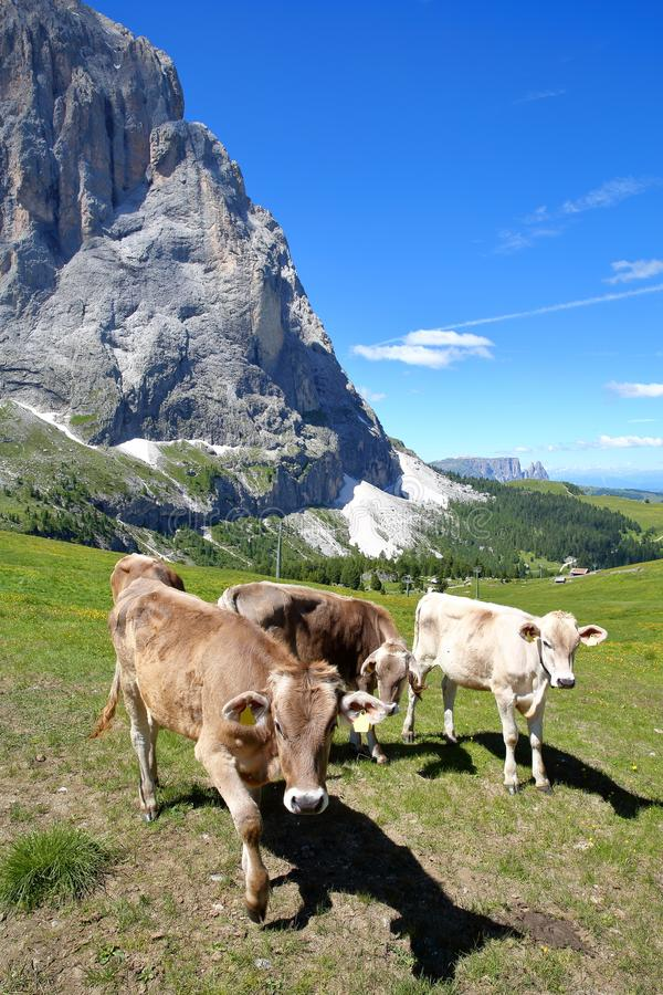 Cows in a meadow close to the top of Ciampinoi cable car above Selva, with Sassolungo mountain and the Chain of Sciliar in the bac stock image