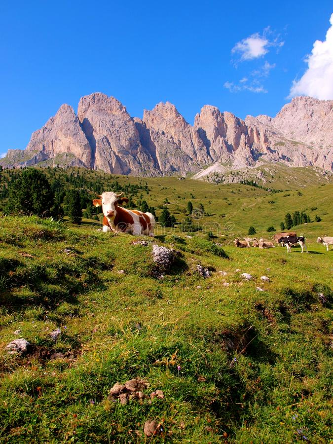 Cows On Meadow, Dolomites Stock Images