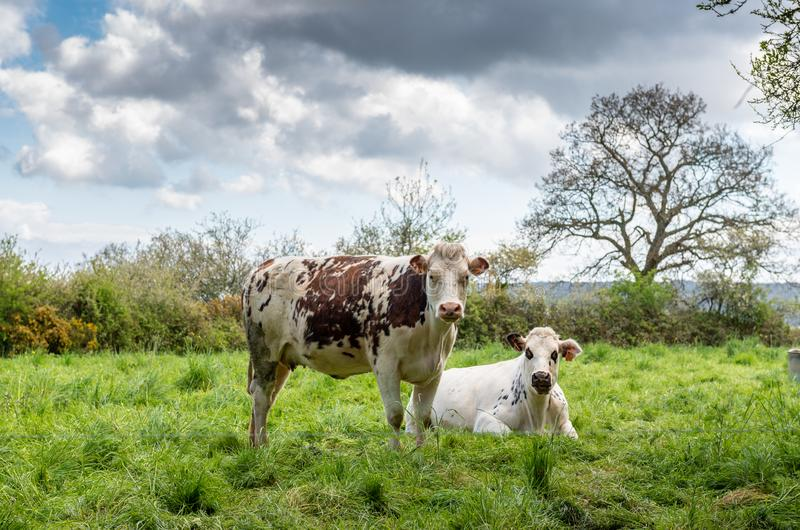 Cows in a meadow in Normandy, France. Cow in a meadow in Normandy, France royalty free stock photography