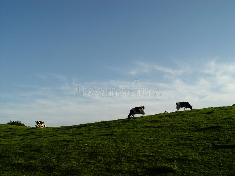 cows, meadow, sky stock photos